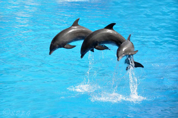 A performance of three dolphins at the St Petersburg Dolphinarium, Russia.